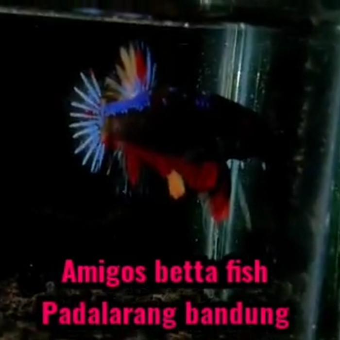 Jual Ikan Cupang Avatar Fire Armagedon Bahanan 2 3 Bln Kab Bandung Barat Amigos Betta Fish Tokopedia