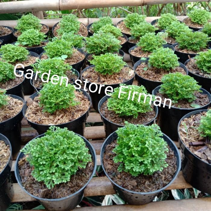 Jual Tanaman Hias Cantik Lumut Ambon Pohon Lumut Hijau Kab Bogor Garden Store Firman Tokopedia