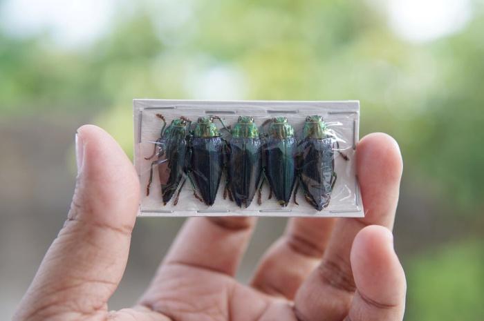 harga Serangga samber lilin asli galaeus walkeri pulau moa Tokopedia.com