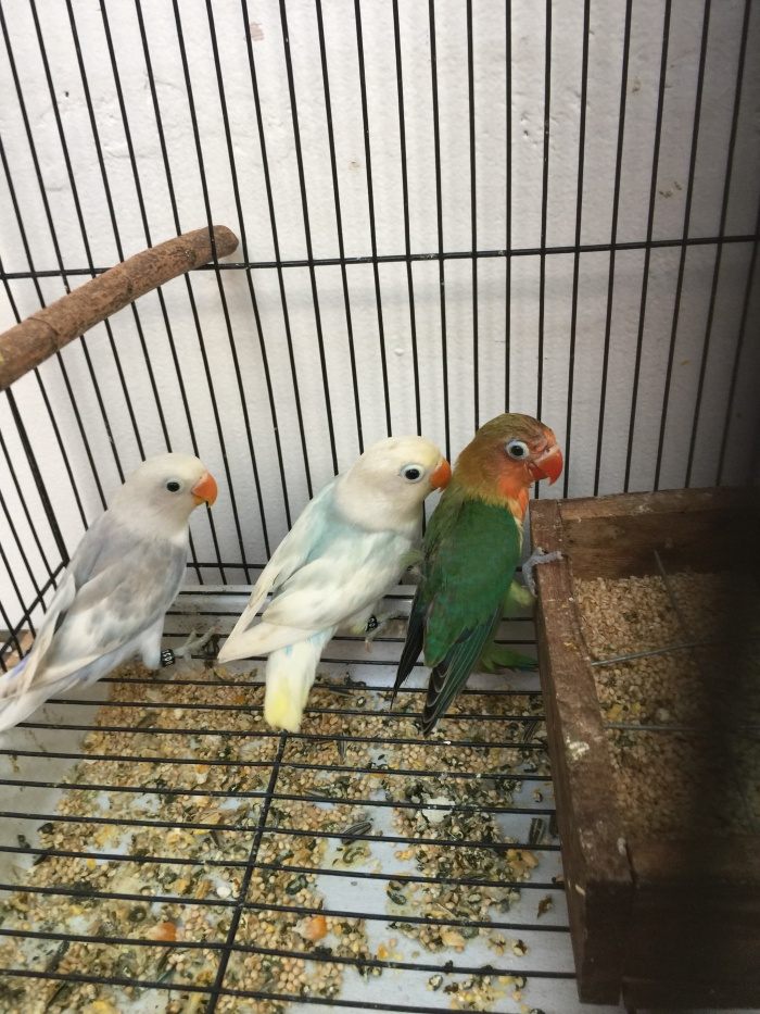harga Lovebird blorok Tokopedia.com