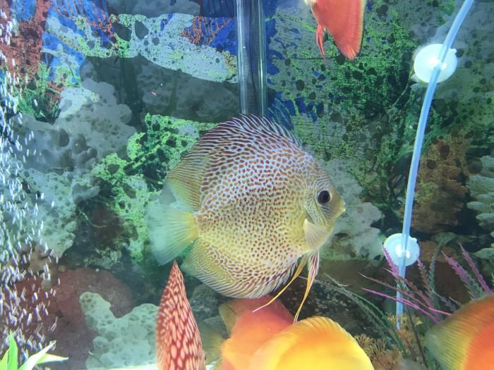 Info Ikan Discus DaftarHarga.Pw