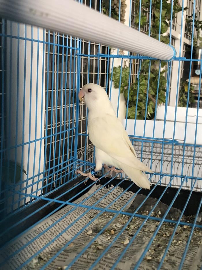 Info Lovebird Non Klep Hargano.com