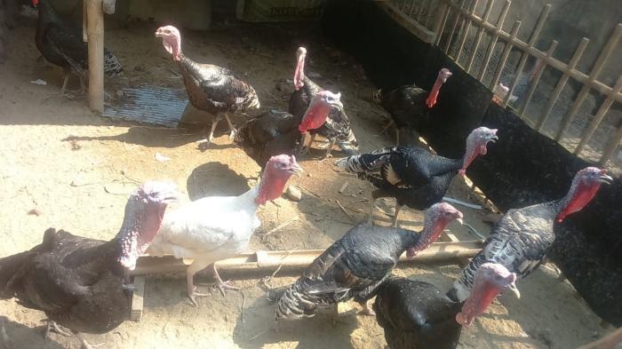 Jual Indukan Ayam Kalkun Kota Bekasi Sabiban Farm Tokopedia