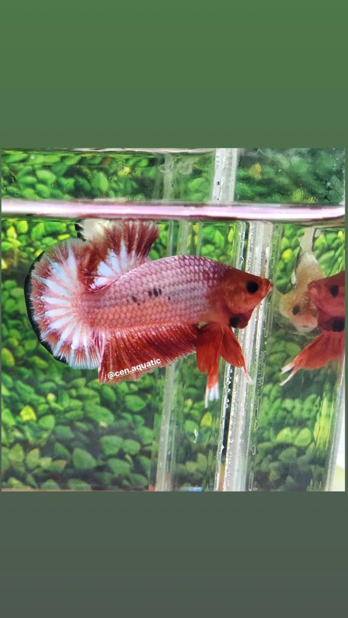 Jual Ikan Cupang Hias Whitescale Red Head Kab Tangerang Betta Girl Shop