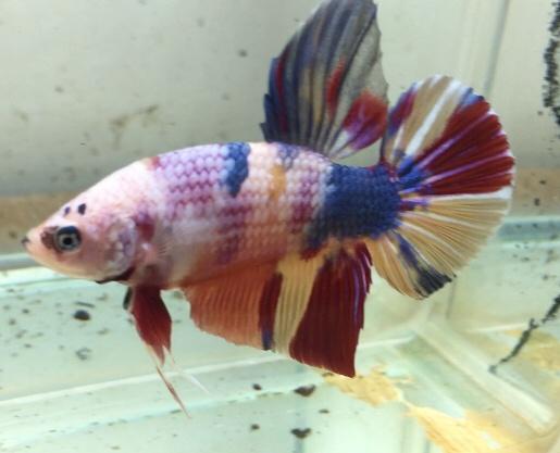 Jual Ikan Cupang Giant Nemo Emerald Bo 4 5 2 Kab Bogor Repoi Store Tokopedia