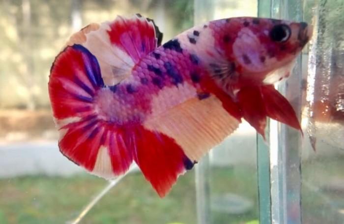 Jual Ikan Cupang Nemo Candy Mullticolour Kota Bogor Rewbettafish Tokopedia