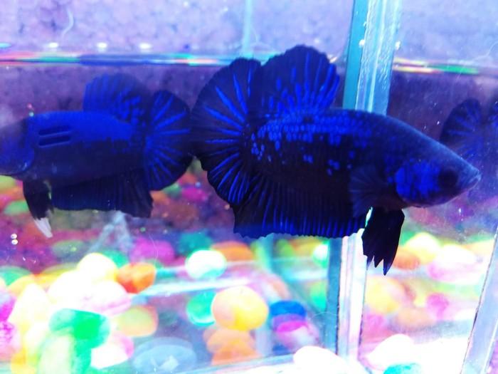 Jual Ikan Cupang Blue Black Light Bbl Kota Bogor Rewbettafish Tokopedia