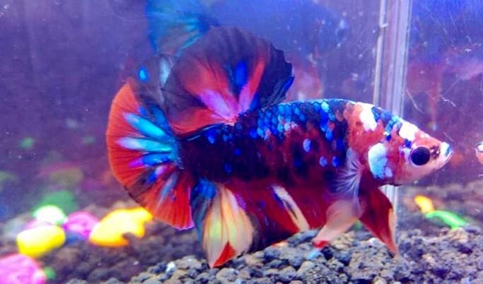 Jual Ikan Cupang Nemo Galaxy Mullticolour Line Avatar Kota Bogor Rewbettafish Tokopedia