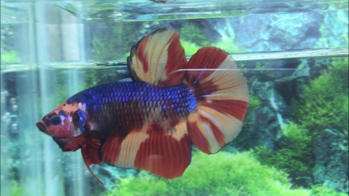 Jual Ikan Cupang Giant Nemo Emerald Blue Bo 5 3 Promo Ajib Kab Bogor Repoi Store Tokopedia