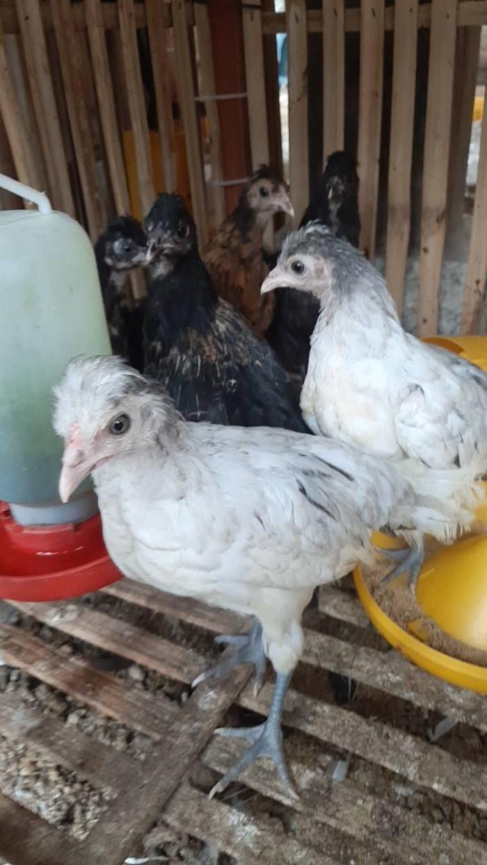 Jual Ayam Jambul Kota Tangerang Selatan Jual Ayam123
