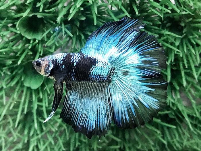 Jual Ikan Cupang Hias Halfmoon Double Tail Avatar - Kab ...