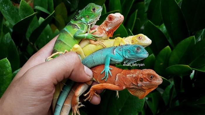 Jual Iguana Biru Blue Iguana Betina Hewan Peliharaan Seperti