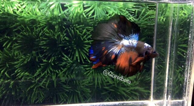 Jual Ikan Cupang Hias Halfmoon Rosetail Vampire Avatar ...