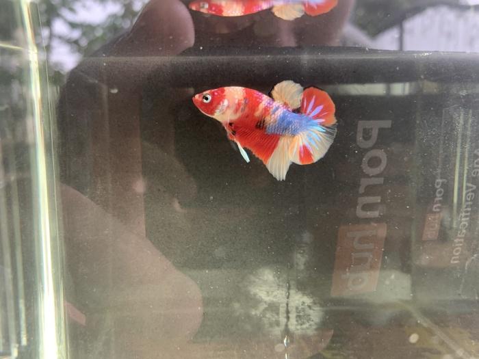 Jual Ikan Cupang Nemo Tiger Candy Jakarta Timur Aquaman Betta Tokopedia