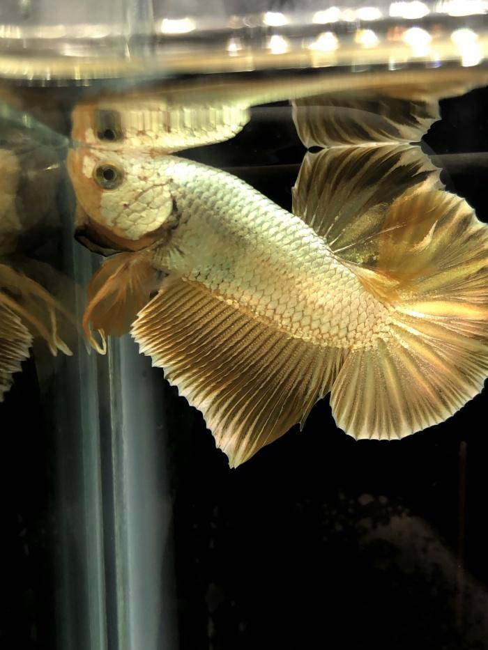 Jual Ikan Cupang Gold 24k Jakarta Barat Aquarium Rafael Tokopedia