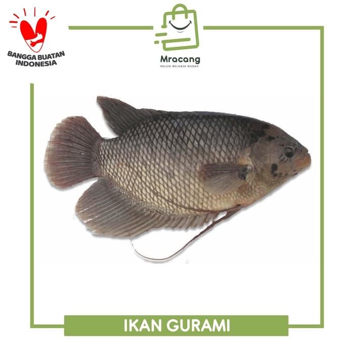 Jual Ikan Gurami Segar Jual Ikan Segar Kota Surabaya Mracang Market Tokopedia