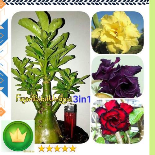 Jual New Bibit Bunga Kamboja 1 Pohon 3 Warna Kuning Ungu Merah Kota Denpasar Adinataaileencaesa Tokopedia