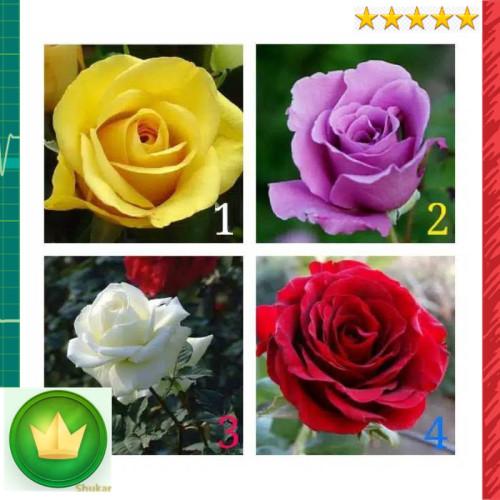 Jual Best Tanaman Hias Bibit Bunga Mawar Wangi Kota Denpasar Omarquirinpenrod Tokopedia