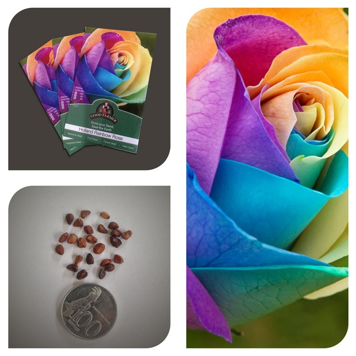 Jual PACK Bibit Benih Biji Mawar Holland Rainbow Rose