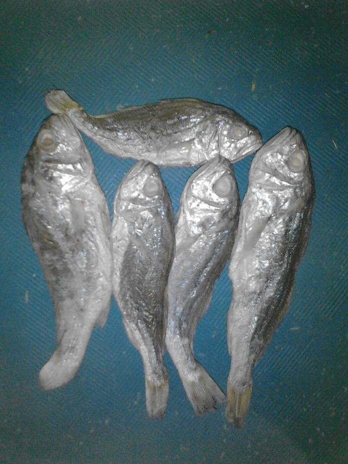 Unduh 80 Gambar Ikan Gulama Terpopuler