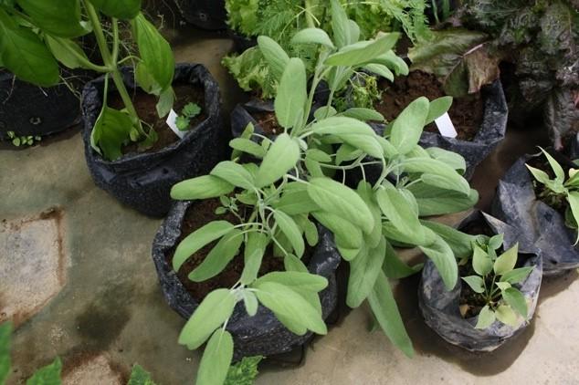 Bibit / Benih Sage Herb (Daun Sage)