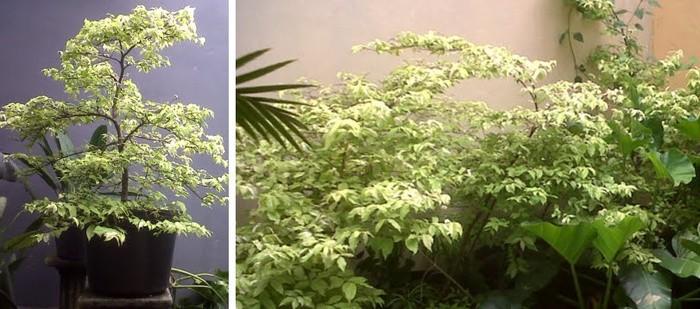 Jual Pohon Anting Putri Sp Tanaman Hias Jasa Desain Taman
