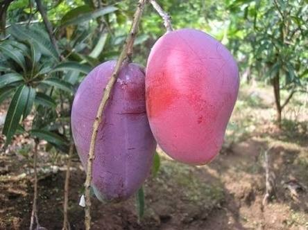 tanaman buah mangga irwin
