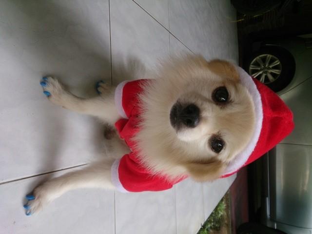 harga Baju pakaian kostum natal anjing kucing cowo jantan cute lucu santa Tokopedia.com