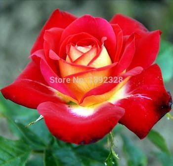 Jual Benih Bunga Mawar China Indah Beautiful Chinese Rose Import Kota Pekanbaru Exyo Online Shop Tokopedia