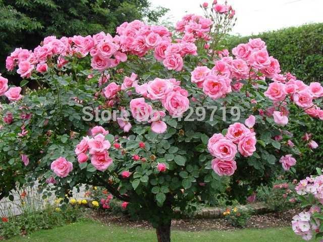 Jual Benih Pohon Bunga Mawar Merah Jambu Pink Rose Tree Import Kota Pekanbaru Exyo Online Shop Tokopedia