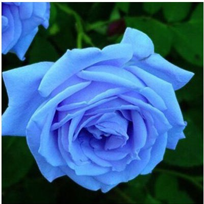 Jual Benih Bibit Biji Bunga Mawar Biru Langit Sky Blue Rose Kota Kendari T A M I M A Tokopedia