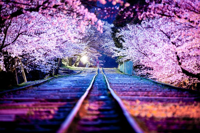 101 Gambar Animasi Gerak Bunga Sakura Kekinian