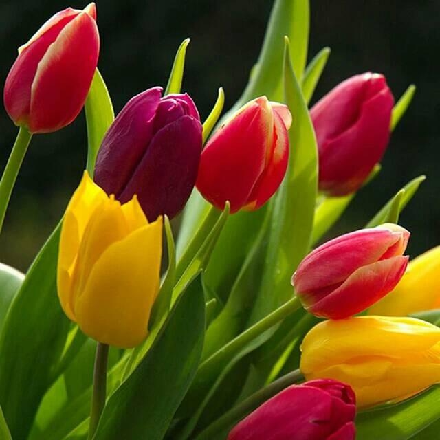 Jual Benih Bibit Biji Bunga Tulip Mix Warna Warni Kota Kendari T A M I M A Tokopedia