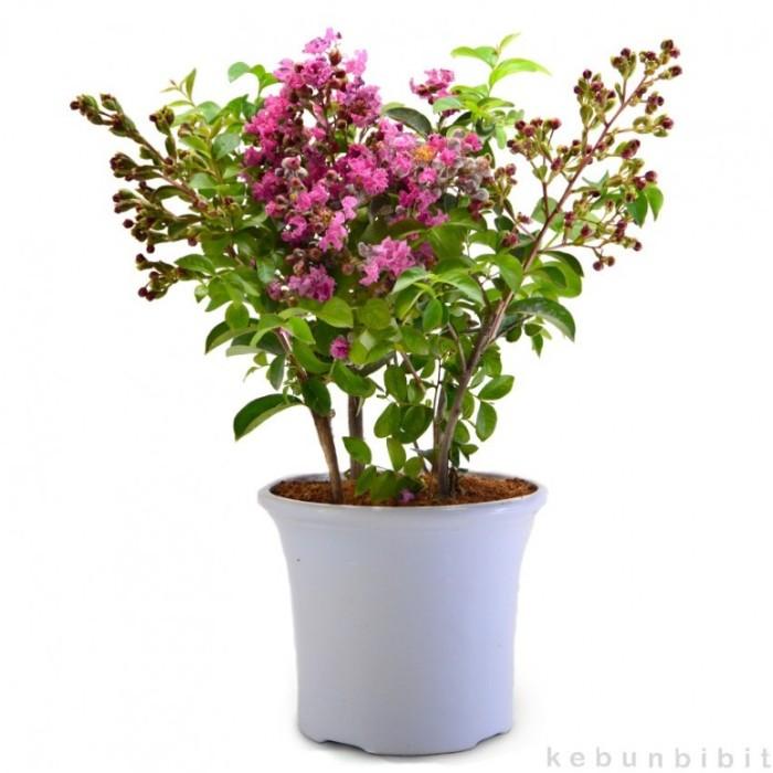 Jual Tanaman Pohon Bunga Pink Crape Myrtle - kebunbibit  f7a1bf87e8