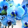 Download 72 Gambar Bunga Anggrek Biru HD Terbaik
