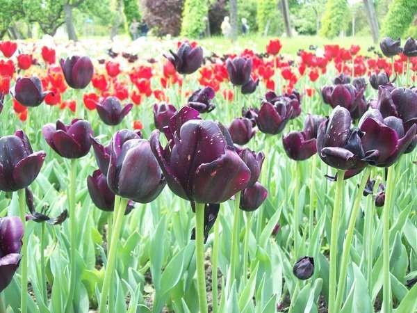 Jual Bunga Tulip Hitam Kota Surabaya Angeline Garden