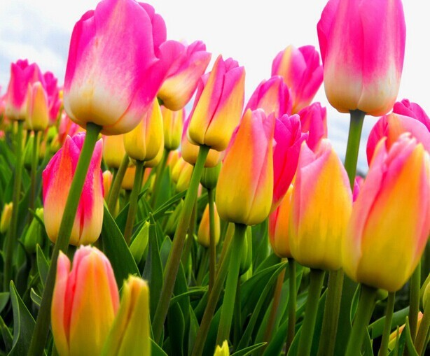 Jual Benih   Bibit   Biji Bunga Tulip Varieties Yellow Pink - Jogja ... b86fa0aaea