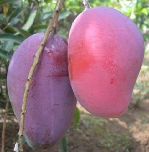 Foto Produk buah mangga irwin dari greenhossecty