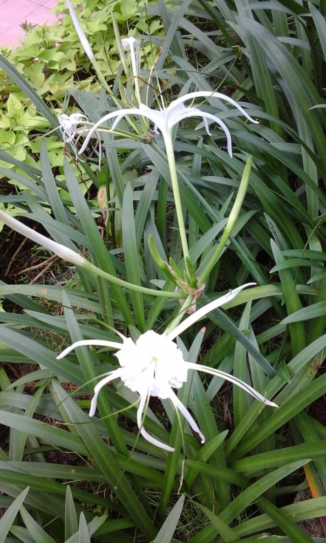 Jual Umbi Bunga Bakung Air Mancur Spider Lily Kota Manado