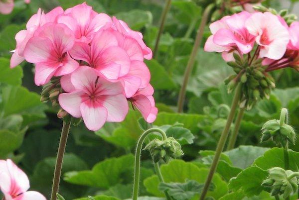 Bibit - Benih - Biji Bunga Geranium Pink