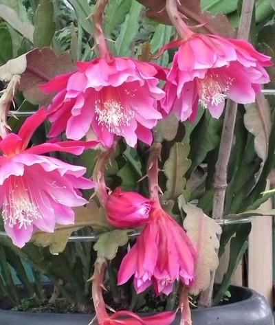 Jual Tanaman Bunga Wijaya Kusuma Warna Merah California