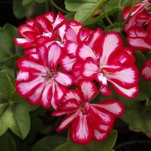 benih/biji/bibit bunga geranium stripes