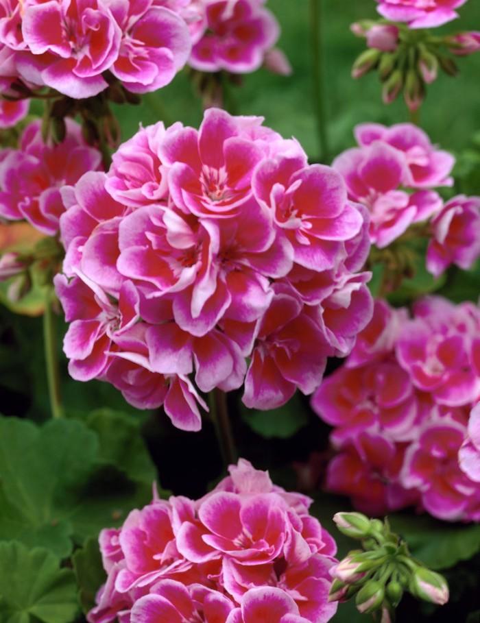 benih/biji/bibit bunga geranium pelargonium zonale mitzuo
