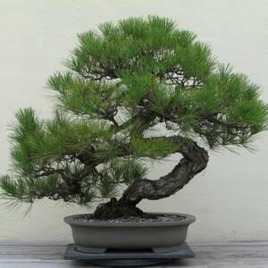 Benih Japanese Black Pine