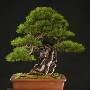 Benih Japanese Red Pine