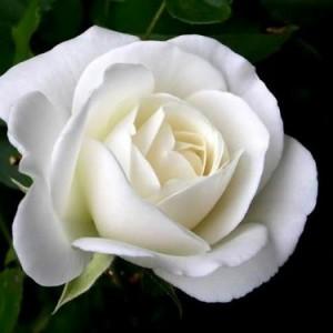 Unduh 1010+ Gambar Bunga Mawar Putih Cantik Terbaik