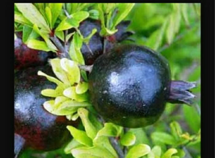 harga Bibit tanaman buah delima hitam Tokopedia.com