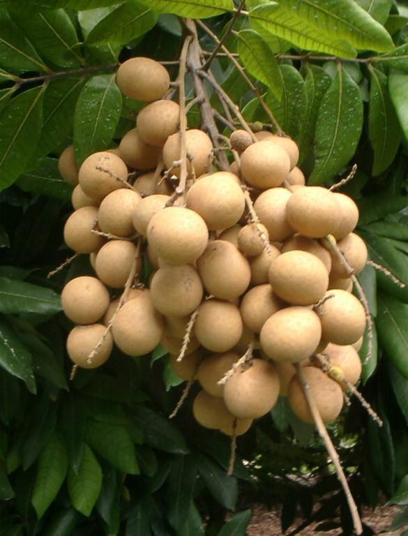 harga Bibit tanaman buah kelengkeng Tokopedia.com