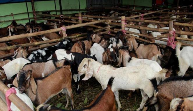 Hasil gambar untuk qurban kambing