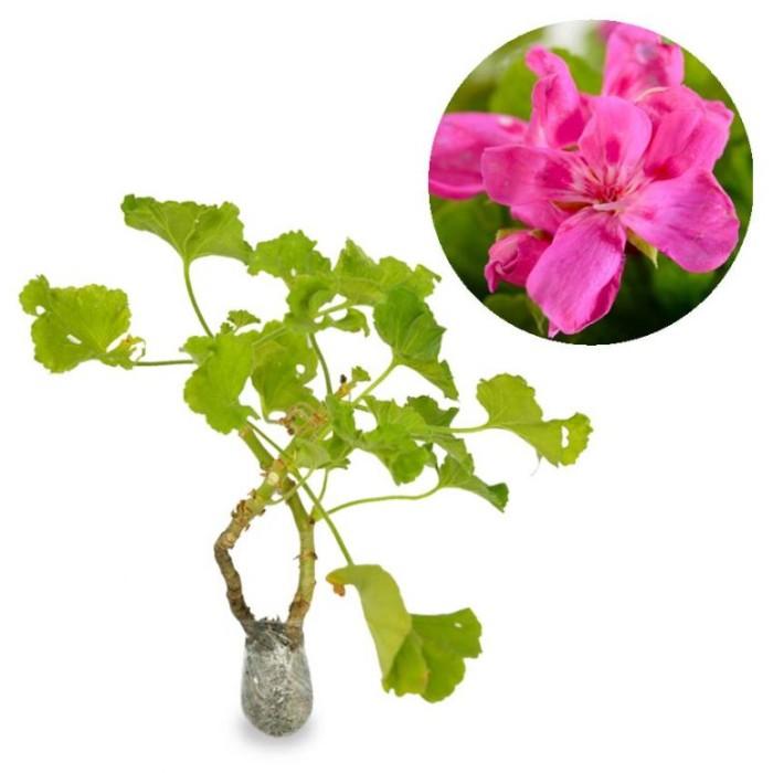 Bibit Online Source · Tanaman Geranium Fuchsia Pink BibitBunga com Source Jual Tanaman .